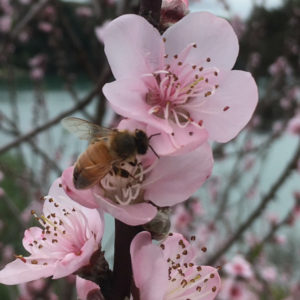 Honey bee on blossom in Russell garden