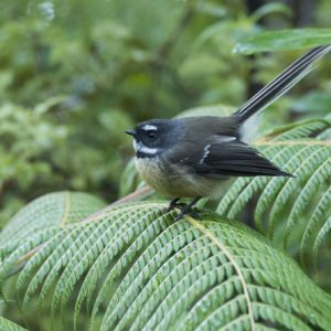 new zealand fantail bay of islands